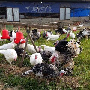 Turkey Meat 3